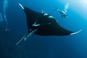 divers with manta ray