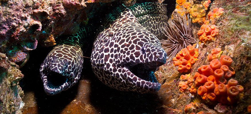 2 spotted morays